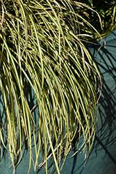 EverColor Eversheen Japanese Sedge (Carex oshimensis 'Eversheen') at Roger's Gardens