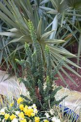 Chirimen Hinoki Falsecypress (Chamaecyparis obtusa 'Chirimen') at Roger's Gardens