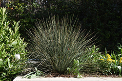 California Gray Rush (Juncus patens) at Roger's Gardens