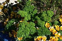 Krausa Parsley (Petroselinum crispum 'Krausa') at Roger's Gardens