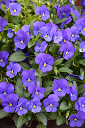 Sorbet True Blue Pansy (Viola 'Sorbet True Blue') at Roger's Gardens