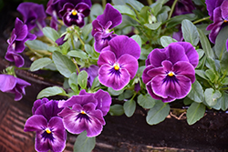 Cool Wave Raspberry Pansy (Viola x wittrockiana 'PAS1196270') at Roger's Gardens