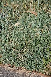 Blue Zinger Blue Sedge (Carex flacca 'Blue Zinger') at Roger's Gardens