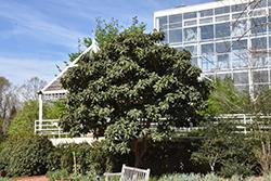 Loquat (Eriobotrya japonica) at Roger's Gardens