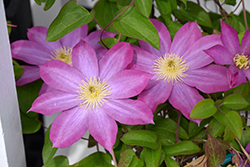 Pink Champagne Clematis (Clematis 'Pink Champagne') at Roger's Gardens