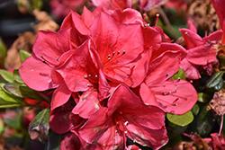 Encore Autumn Bonfire Azalea (Rhododendron 'Autumn Bonfire') at Roger's Gardens