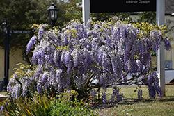 Japanese Wisteria (Wisteria floribunda) at Roger's Gardens