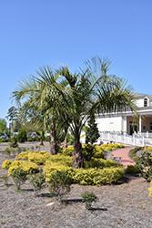Mule Palm (Butiagrus nabonnandii) at Roger's Gardens