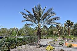 Date Palm (Phoenix dactylifera) at Roger's Gardens