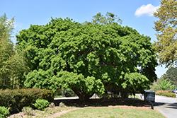 Kurogane Holly (Ilex rotunda) at Roger's Gardens