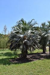 Mexican Blue Palm (Brahea armata) at Roger's Gardens