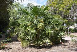 Windmill Palm (Trachycarpus fortunei) at Roger's Gardens