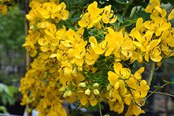 Easter Cassia (Senna pendula) at Roger's Gardens