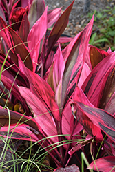 Red Sister Hawaiian Ti Plant (Cordyline fruticosa 'Red Sister') at Roger's Gardens