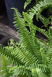 Sword Fern (Nephrolepis cordifolia) at Roger's Gardens