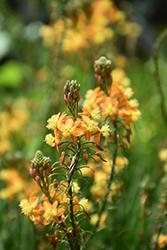 Stalked Bulbine (Bulbine frutescens) at Roger's Gardens