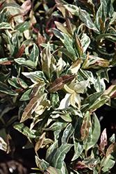 Minima Tricolor Asian Jasmine (Trachelospermum asiaticum 'Minima Tricolor') at Roger's Gardens
