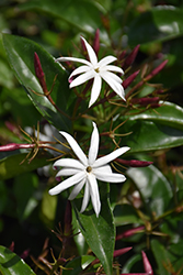 Star Jasmine (Jasminum multiflorum) at Roger's Gardens