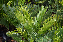 Coontie (Zamia integrifolia) at Roger's Gardens