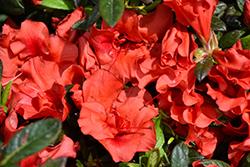 Encore Autumn Embers Azalea (Rhododendron 'Conleb') at Roger's Gardens