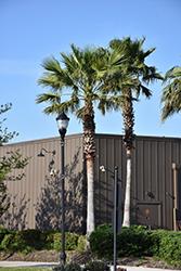 Mexican Fan Palm (Washingtonia robusta) at Roger's Gardens