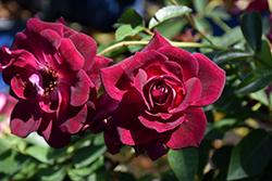 Burgundy Iceberg Rose (Rosa 'Burgundy Iceberg') at Roger's Gardens