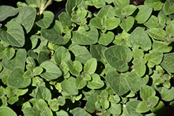 Hot And Spicy Oregano (Origanum 'Hot And Spicy') at Roger's Gardens