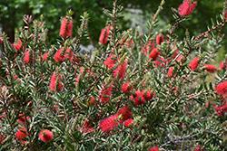 Crimson Bottlebrush (Callistemon citrinus) at Roger's Gardens