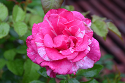 Parade Day Rose (Rosa 'WEKmeroro') at Roger's Gardens
