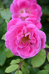 Easy To Please Rose (Rosa 'WEKfawibyblu') at Roger's Gardens