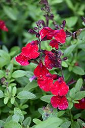 Mirage Cherry Red Autumn Sage (Salvia greggii 'Balmircher') at Roger's Gardens