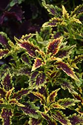 Robyn Coleus (Solenostemon scutellarioides 'Robyn') at Roger's Gardens