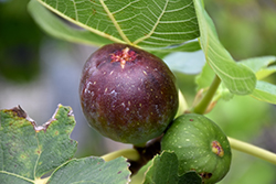 Brown Turkey Fig (Ficus carica 'Brown Turkey') at Roger's Gardens