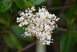 Texanum Japanese Privet (Ligustrum japonicum 'Texanum') at Roger's Gardens