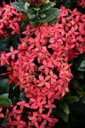 Flame of the Woods (Ixora coccinea) at Roger's Gardens