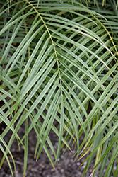 Pygmy Date Palm (Phoenix roebelenii) at Roger's Gardens