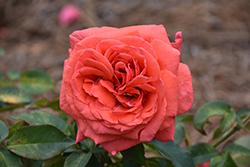 Fragrant Cloud Rose (Rosa 'Fragrant Cloud') at Roger's Gardens