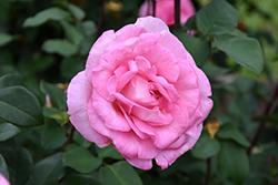 Beverly Eleganza Rose (Rosa 'KORpauvio') at Roger's Gardens