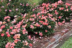 Peach Drift Rose (Rosa 'Meiggili') at Roger's Gardens