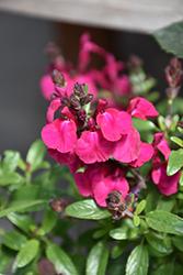 Mirage Neon Rose Autumn Sage (Salvia greggii 'Balmirnose') at Roger's Gardens