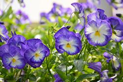 Halo Lilac Pansy (Viola cornuta 'Halo Lilac') at Roger's Gardens