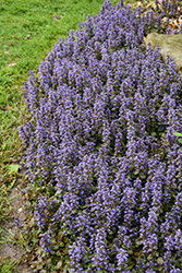 Caitlin's Giant Bugleweed (Ajuga reptans 'Caitlin's Giant') at Roger's Gardens
