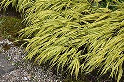 Golden Variegated Hakone Grass (Hakonechloa macra 'Aureola') at Roger's Gardens