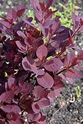 Black Velvet Purple Smokebush (Cotinus coggygria 'Black Velvet') at Roger's Gardens