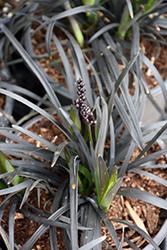 Ebony Knight Mondo Grass (Ophiopogon planiscapus 'Ebknizam') at Roger's Gardens