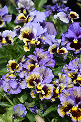 Frizzle Sizzle Yellow Blue Swirl Pansy (Viola x wittrockiana 'Frizzle Sizzle Yellow Blue Swirl') at Roger's Gardens
