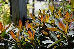 Craigieburn Wood Spurge (Euphorbia amygdaloides 'Craigieburn') at Roger's Gardens