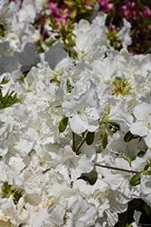 Girard's Pleasant White Azalea (Rhododendron 'Girard's Pleasant White') at Roger's Gardens