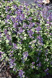 Aroma Violet Catmint (Nepeta x faassenii 'Aroma Violet') at Roger's Gardens
