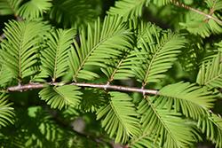 Jade Prince Dawn Redwood (Metasequoia glyptostroboides 'JFS-PN3Legacy') at Roger's Gardens